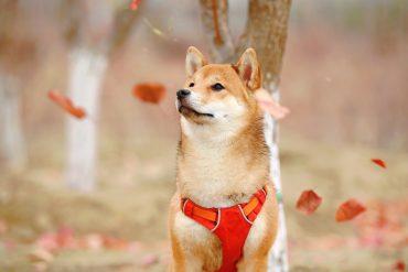 chien shiba