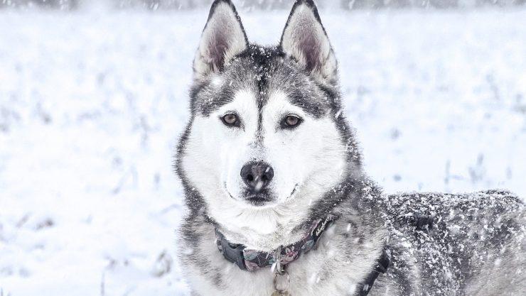 assurance chien de race