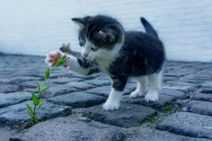 Calicivirose du chat