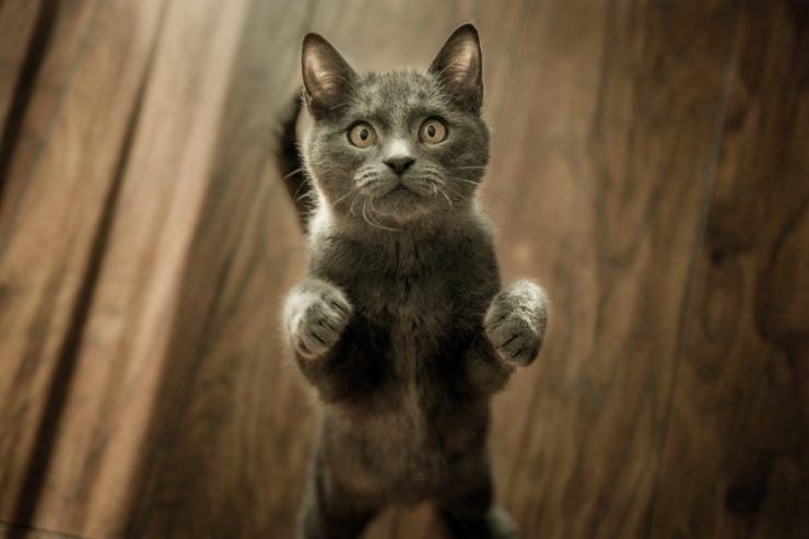 leucémie chat