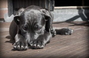 parvovirose chien