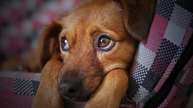 Hépatite chien