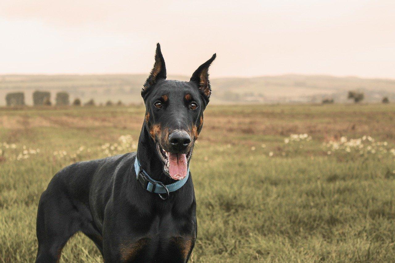 chien de catégorie 1