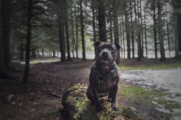 chien de catégorie 2 staff
